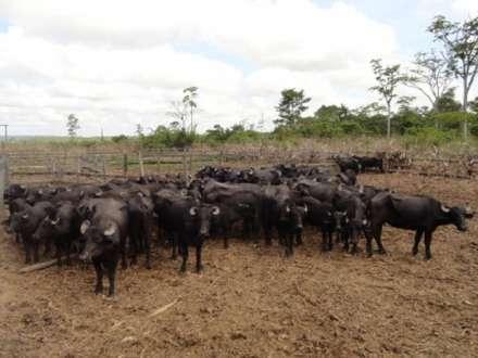 MG - Cerca de 30 búfalos são furtados no sul de minas