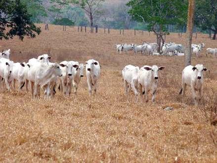 Norte de Minas - Devido à seca, pecuaristas vendem gado antes da hora para evitar perdas