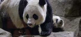 Animais chineses não poderão fazer prognósticos durante o Mundial