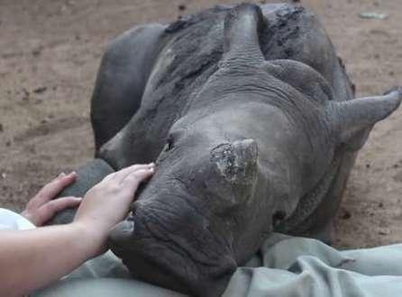 """Bebê rinoceronte """"órfão"""" é adotado por ovelha"""