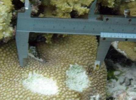 O detalhe mostra a mordida de um peixe-papagaio gigante sobre um coral
