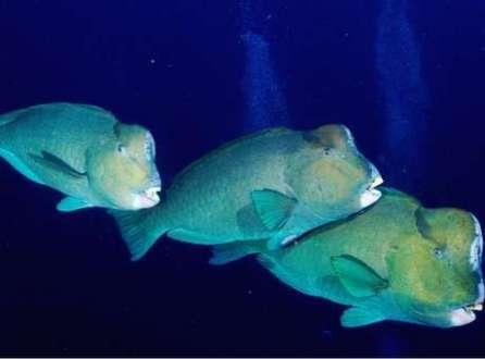 Os peixes-papagaio gigantes se alimentam rotineiramente de corais vivos no Pacífico