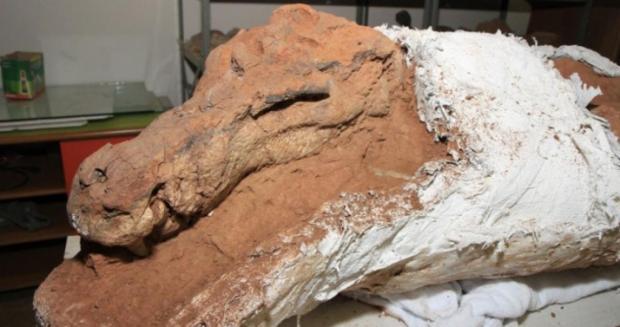 Crânio do animal tinha 38 cm de comprimento e ele possuía dentição de hábitos carnívoros