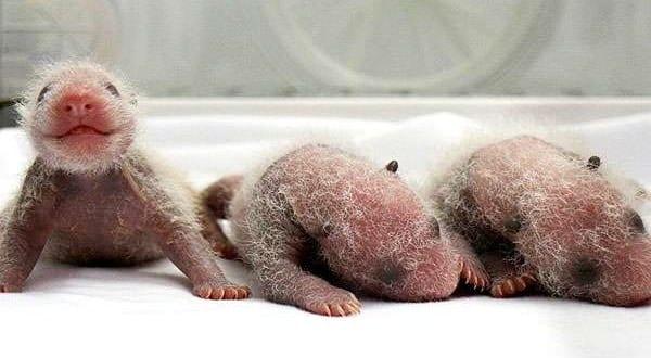 Pandas trigêmeos completam dois meses de vida na China