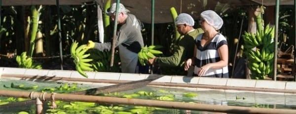 Norte de Minas - Produtores do Projeto Jaíba fazem teste de exportação de banana para Europa