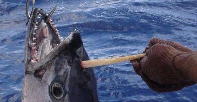 Homem garante ter pescado atum 'unicórnio' na Austrália