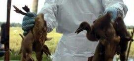 Milhares de aves foram sacrificadas mediante o emprego de gás carbônico