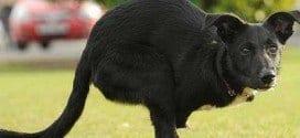 """Cão sem patas dianteiras anda como """"canguru"""" no Reino Unido"""