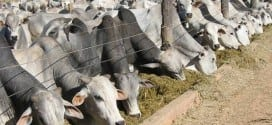 Norte de Minas - Confinamento é alternativa para engorda de bovinos no período da seca no Norte de Minas