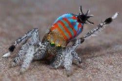 Nova espécie de aranha-pavão descoberta em Queensland Foto: Reprodução