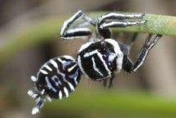 Aranha-pavão foi identificada por cientista australiana Foto: IFL Science / Reprodução