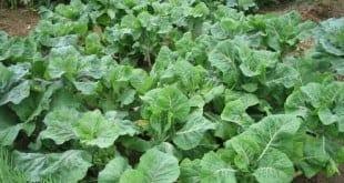Norte de Minas - Famílias de agricultores do Norte de Minas investem na horticultura