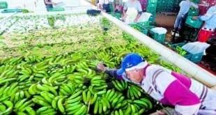 Banana do Projeto Jaíba