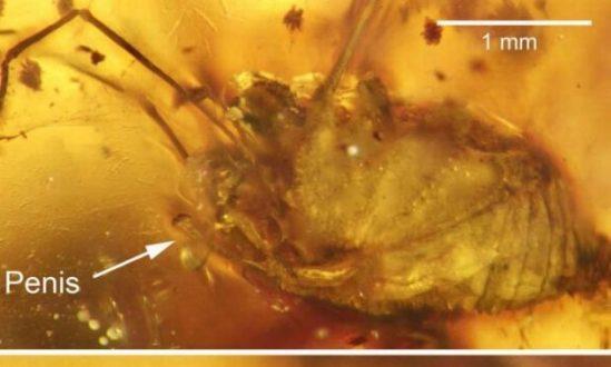 Fóssil de aranha com pênis ereto é encontrado no Sul da Ásia