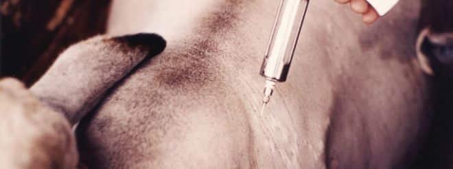 Minas Gerais possui 23,9 miilhões de cabeça de gado: vacinação em dia garante qualidade
