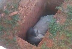 Montes Claros - Boi fica preso ao cair em sepultura de cemitério na zona rural de Montes Claros
