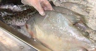 O primeiro ponto a ser observado na hora da compra do peixe é a refrigeração