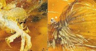Fóssil. Pedaço de âmbar encontrado em Mianmar contém algumas partes de um filhote de pássaro