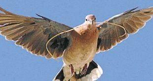 Pombas não têm 'cérebro de passarinho', revela estudo