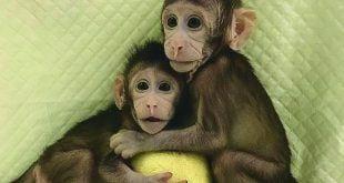 Estrelas. Zhong Zhong e Hua Hua, como foram apelidadas, têm oito e seis semanas de vida, respectivamente