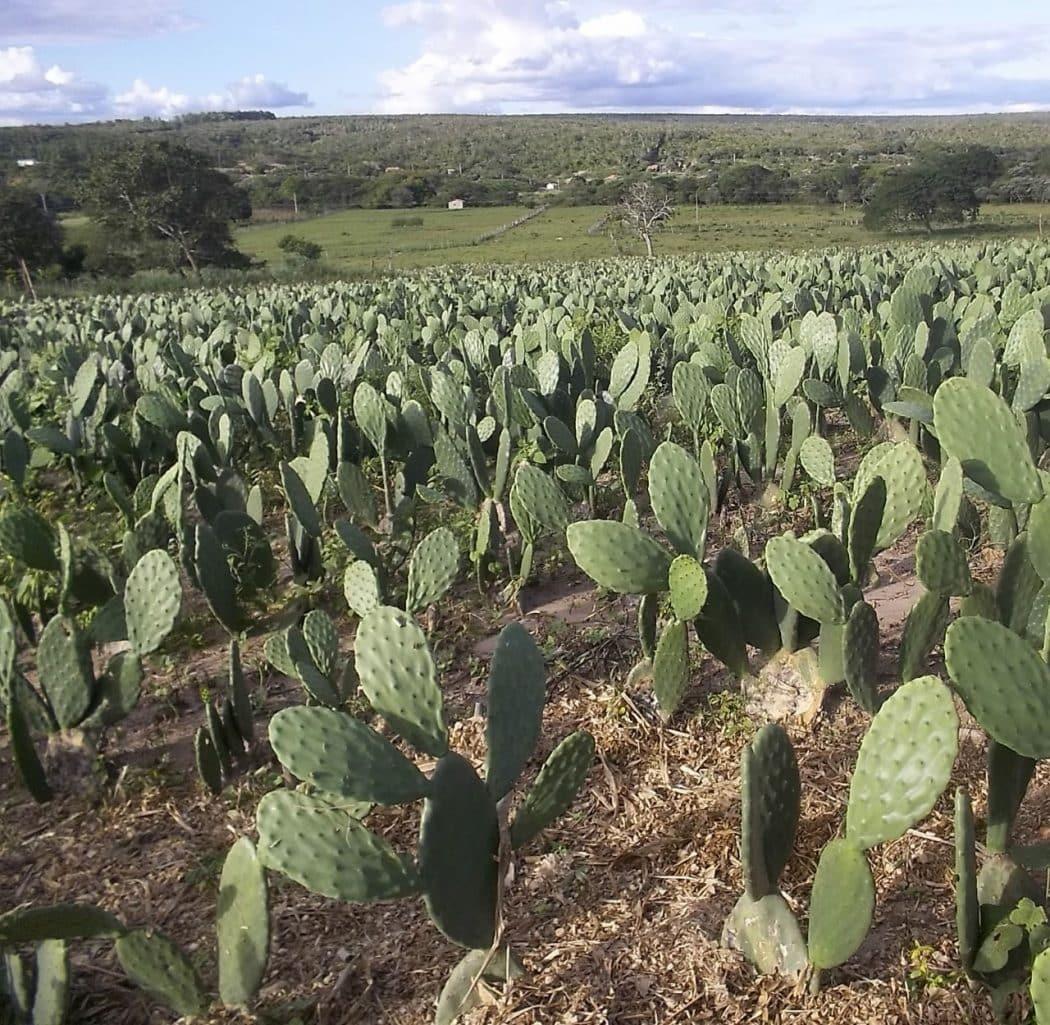 No Norte de Minas, palma forrageira é alternativa para alimentar o rebanho bovino no período de seca