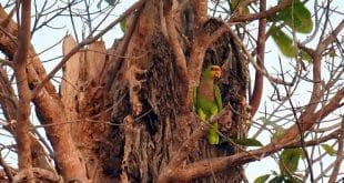 Instituto e Associação fazem parceria para conservação dos papagaios no norte de Minas