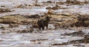 Há muitos animais ilhados ao longo de todo o trecho da cidade que foi varrido pelo barro