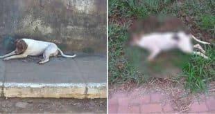 MG - Um desconhecido alimentou cachorros de rua com carne contaminada com chumbinho em cidade mineira