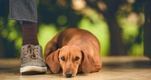 Saiba como evitar a parvovirose em cães