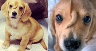 """""""Cachorro unicórnio"""" é adotado nos EUA"""