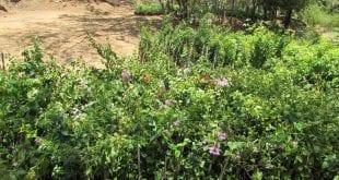 Montes Claros - Através de parceria, Prefeitura vai arborizar as margens da BR-135 até a comunidade de Lagoinha