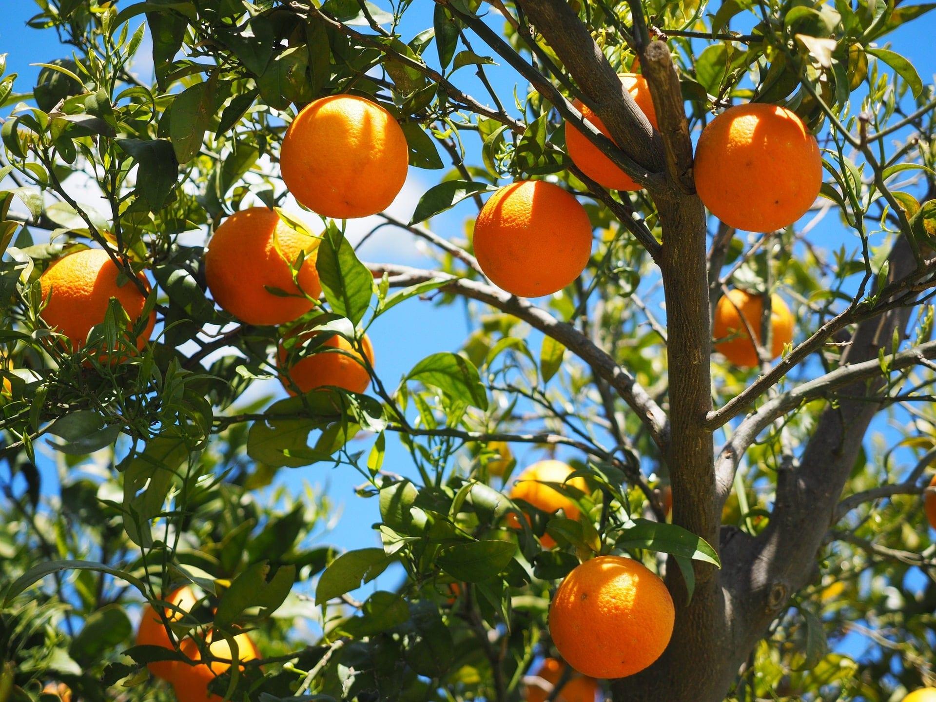 Norte de Minas - Região do Norte de Minas se torna referência em produção de frutas