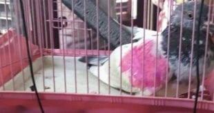 Após suspeita de espionagem, pombo é detido pela polícia de Manyari, na Índia