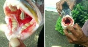 """Peixe com """"dentição humana"""" é pescado na Malásia"""