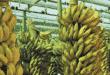 Norte de Minas - Ontem foi celebrado o Dia da Banana, importante fonte de renda no Norte de Minas