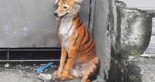 Na Malásia, cão é achado pintado de tigre e revolta internautas